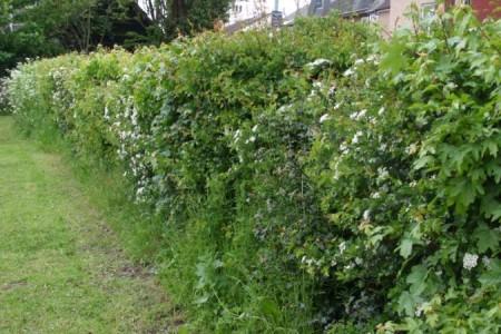 Hedge D